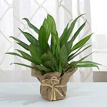 Aglaonema Jute Wrapping Pot: Home Decor Items