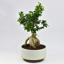 Bonsai Plant In Green Pot: