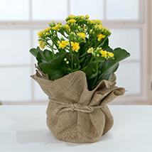 Jute Wrapped Yellow Kalanchoe Plant: Plants
