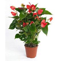 Red Anthurium Plant: Best Flowering Plants