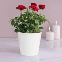 Red Rose Plant: Flowering Plants