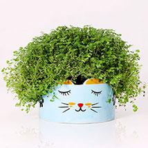 Soleirolia Plant in Sleeping Cat Pot: Indoor Plants in Dubai