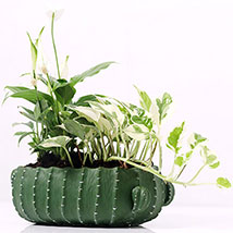Spathiphyllum and Scindapsus In Designer Pot: Money Plants