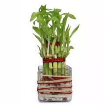 Good Luck Bamboo: