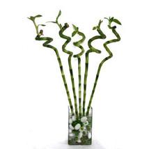 Spiral Bamboo: Housewarming Plants