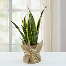 Sanseveria Plant with Jute Wrapping Pot: Lucky Plants