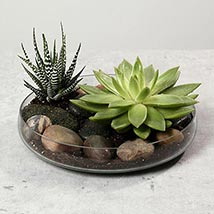Green Echeveria and Haworthia with Natural Stones: Plants Offers