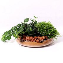 Set of 3 Plants in Glass Platter: lucky plants