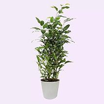 Ficus Plant In Ceramic Pot: lucky plants