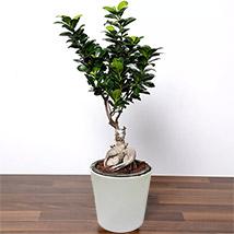 Ficus Bonsai Plant In Ceramic Pot: Indoor Plants in Dubai