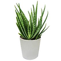 Aloe Vera Plant in a Pot: Aloe Vera Plants