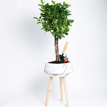 Ficus Microcarpa Moclame with Gardening Tools: Good Luck Plants