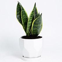 Sansevieria In White Ceramic Planter: Lucky Plants