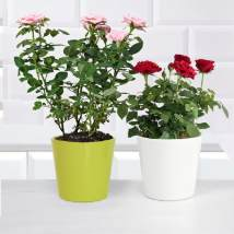 Pink and Red Rose Plant: Flowering Plants
