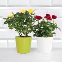 Red and Yellow Rose Plant: Flowering Plants