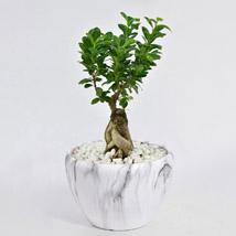 Bonsai Plant In Ceramic Pot: Bonsai Plants