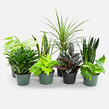 Set Of 8 Beautiful Plants: Air Purifying Indoor Plants