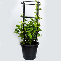 Mandevilla plant: Outdoor Plants in Dubai
