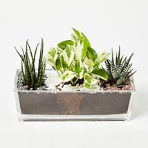 Sansevieria With Haworthia & Money Plant Jumbo Vase: