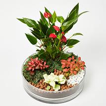 3 Fittonia & 1 Anthurium Plant In Platter Shape Planter: