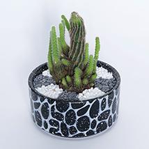 Cactus in Black Stone Pot: Succulent Plants