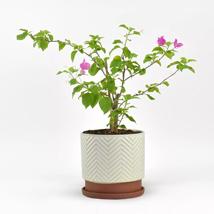 Bougainvillea in Black Designer Pot: Outdoor Plants