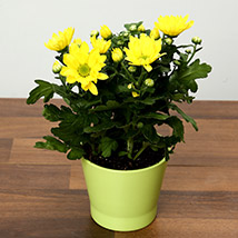 Yellow Chrysanthemums Plant In Green Ceramic Pot: Flowering Plants
